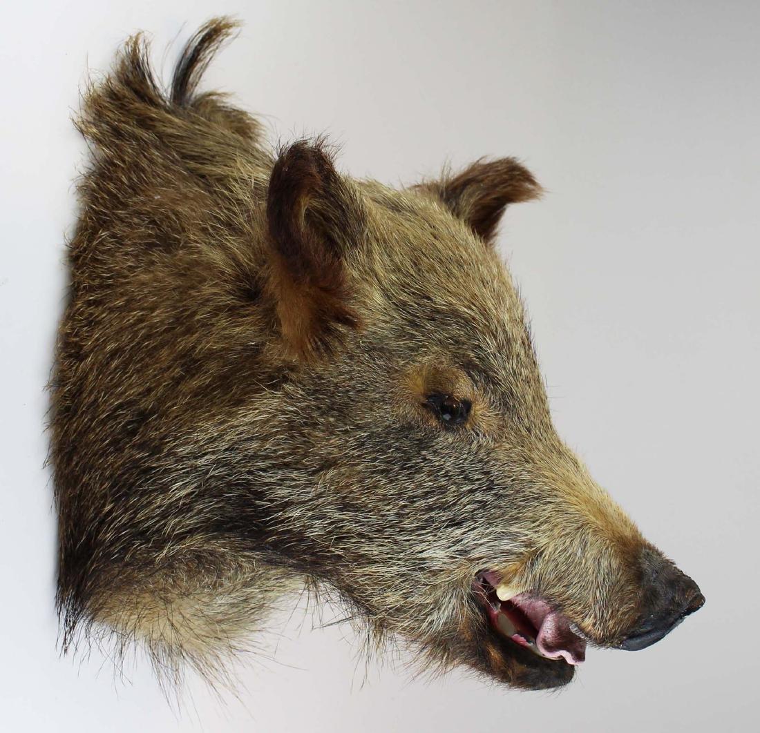 Boar head shoulder mount - 4