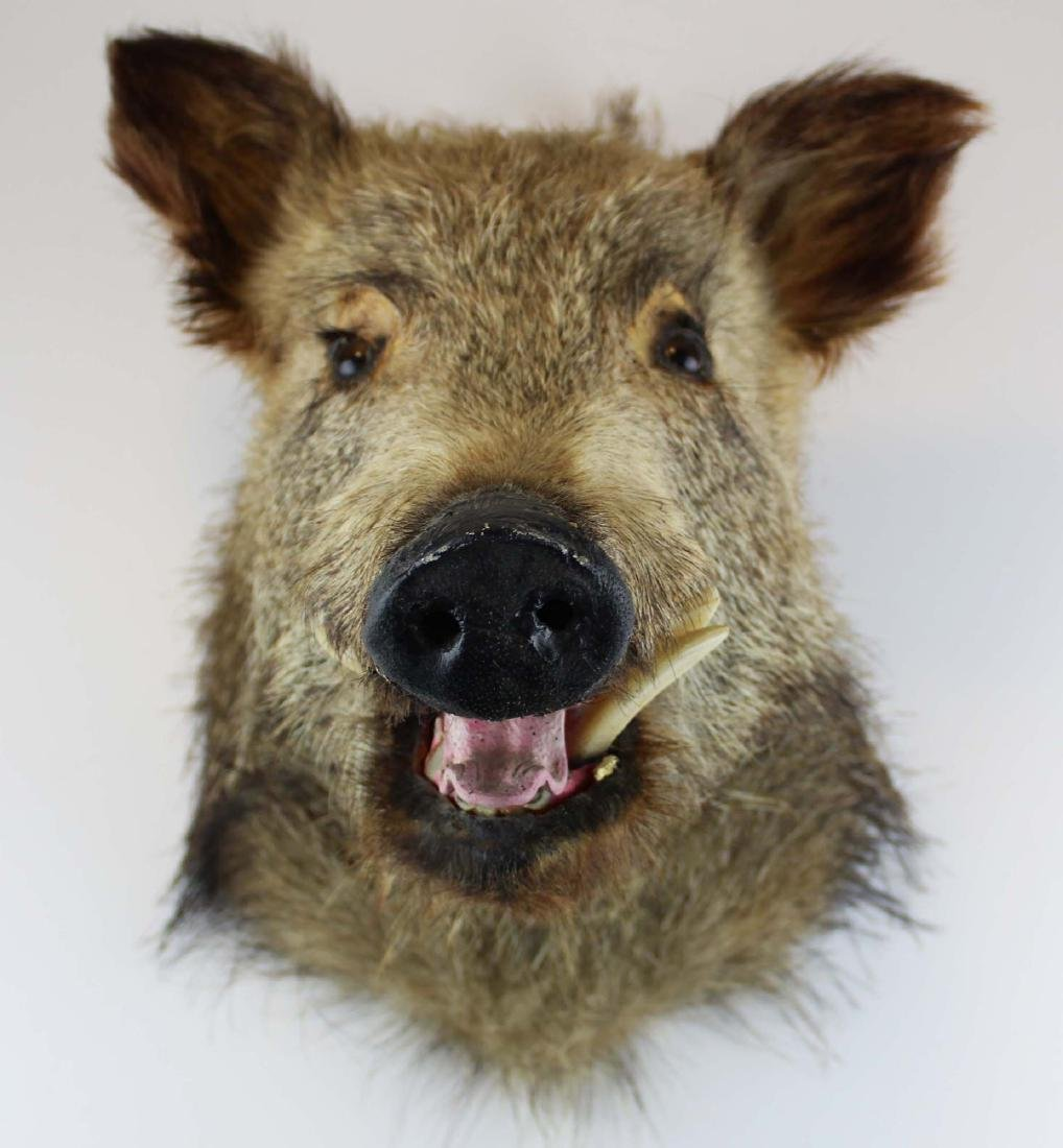 Boar head shoulder mount - 6