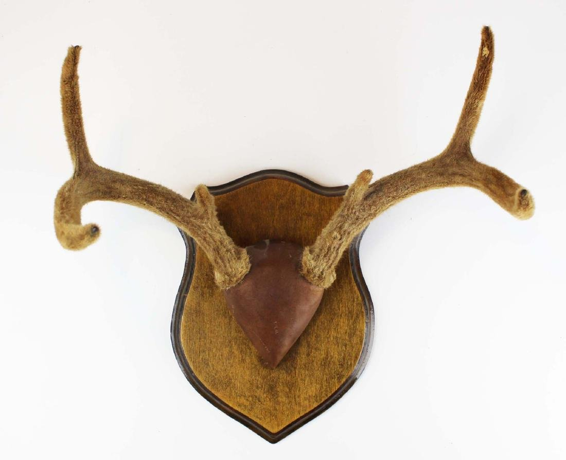 Whitetail deer rack still in velvet