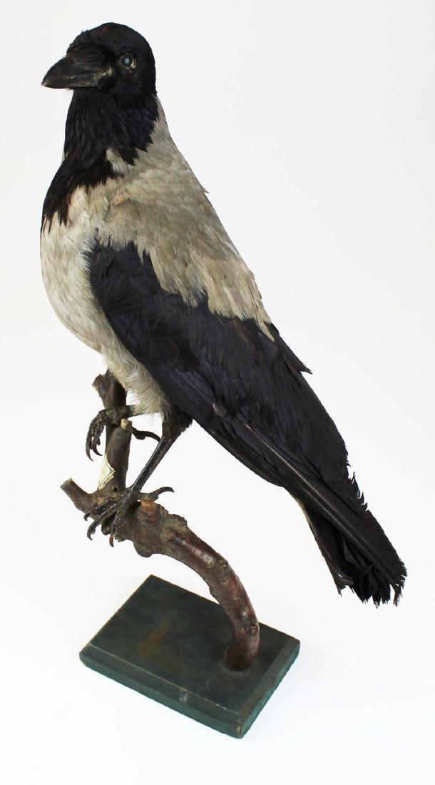Ca 1890 Taxidermy Raven - 10