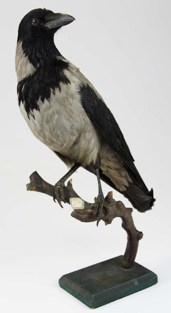 Ca 1890 Taxidermy Raven