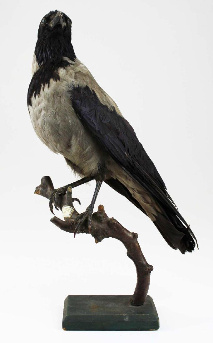 Ca 1890 Taxidermy Raven - 2