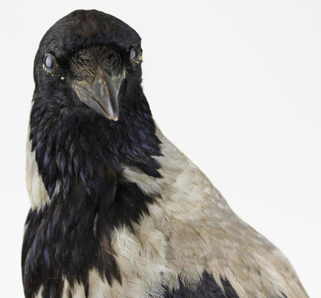 Ca 1890 Taxidermy Raven - 3