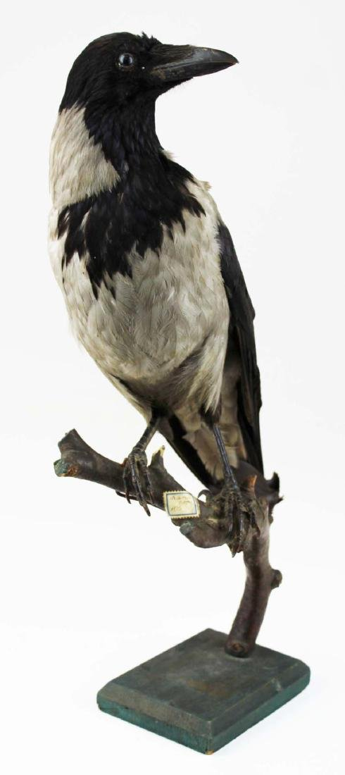 Ca 1890 Taxidermy Raven - 5