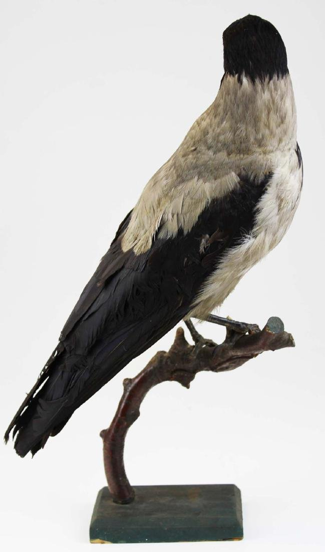 Ca 1890 Taxidermy Raven - 7