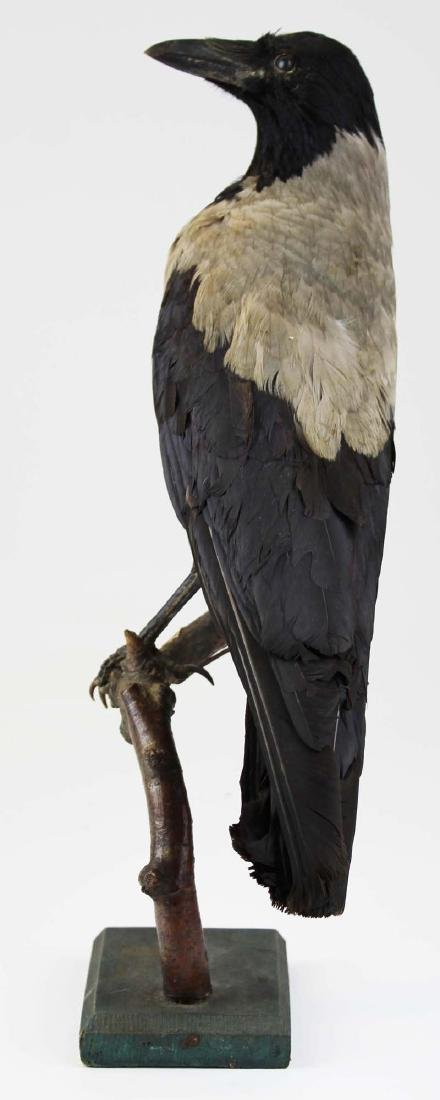 Ca 1890 Taxidermy Raven - 8