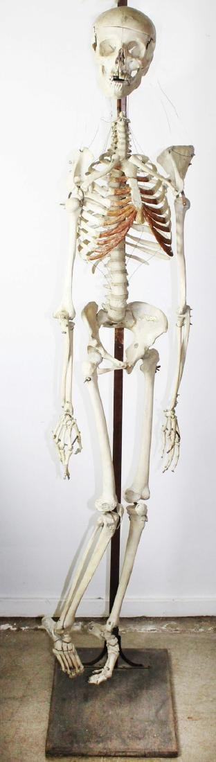 Antique Human medical skeleton