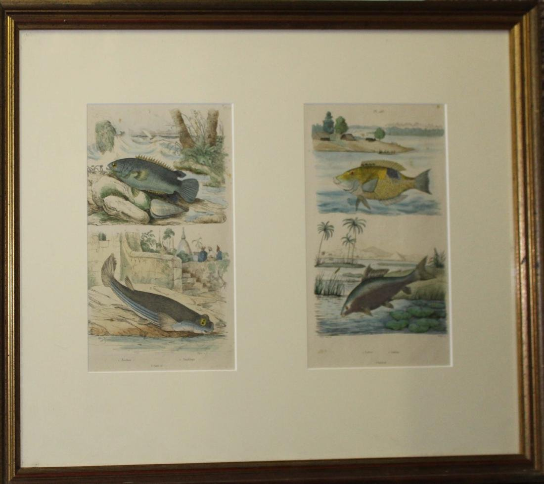Two 19th c handcolored engravings of fish