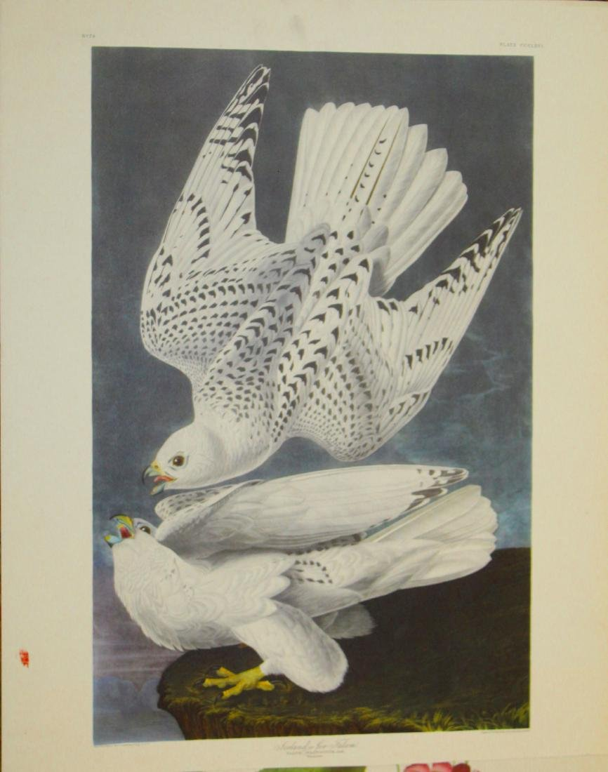 17 circa 1930 Adubon restrikes - 2