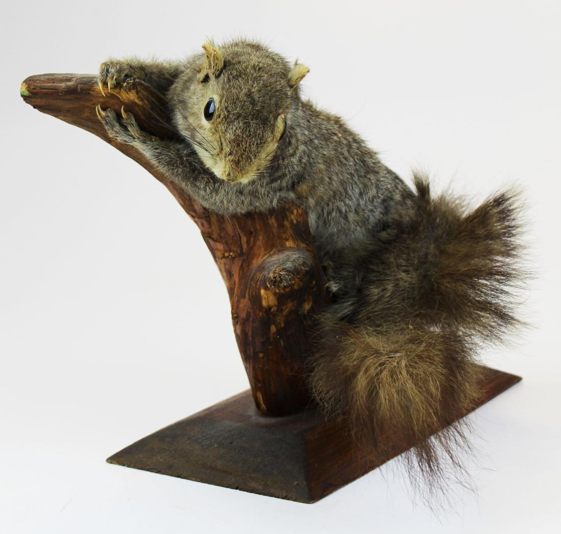 Squirrel Taxidermy mount