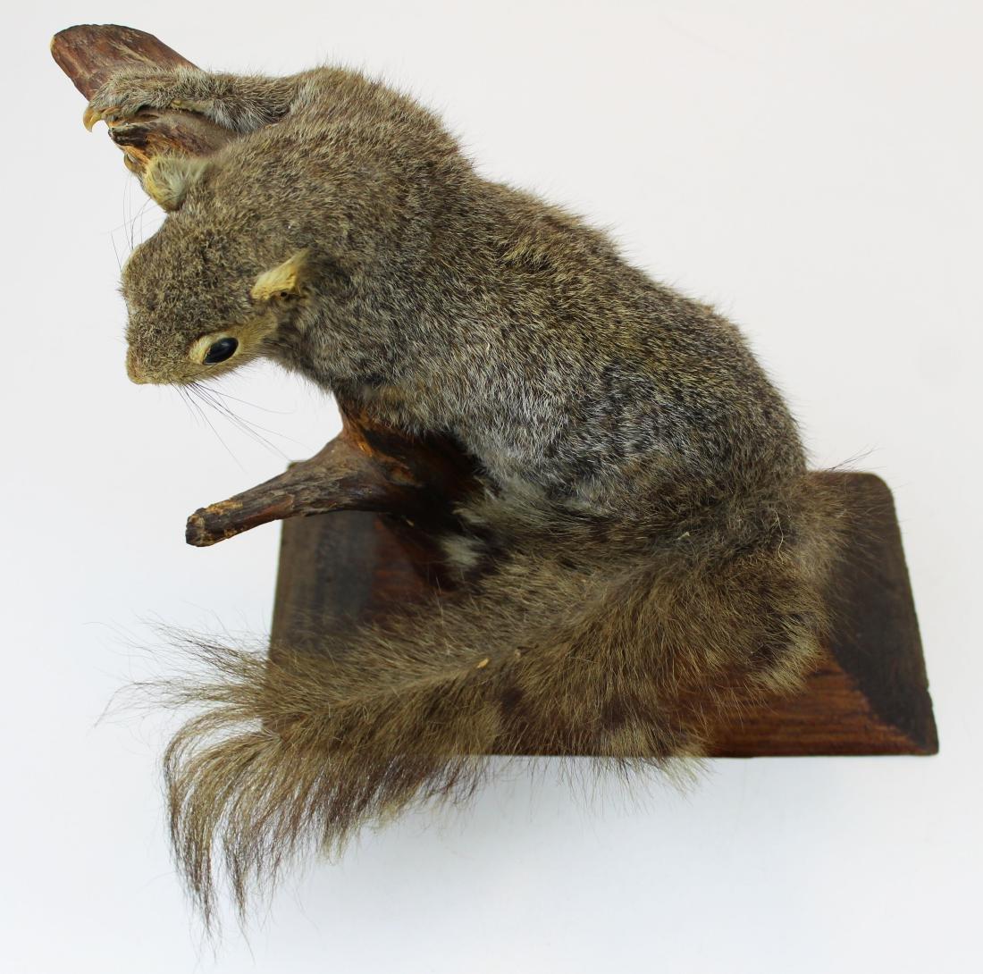 Squirrel Taxidermy mount - 2