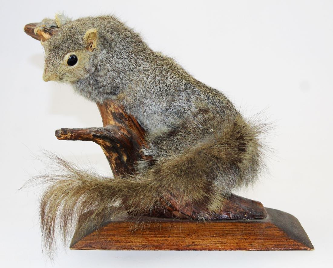 Squirrel Taxidermy mount - 3