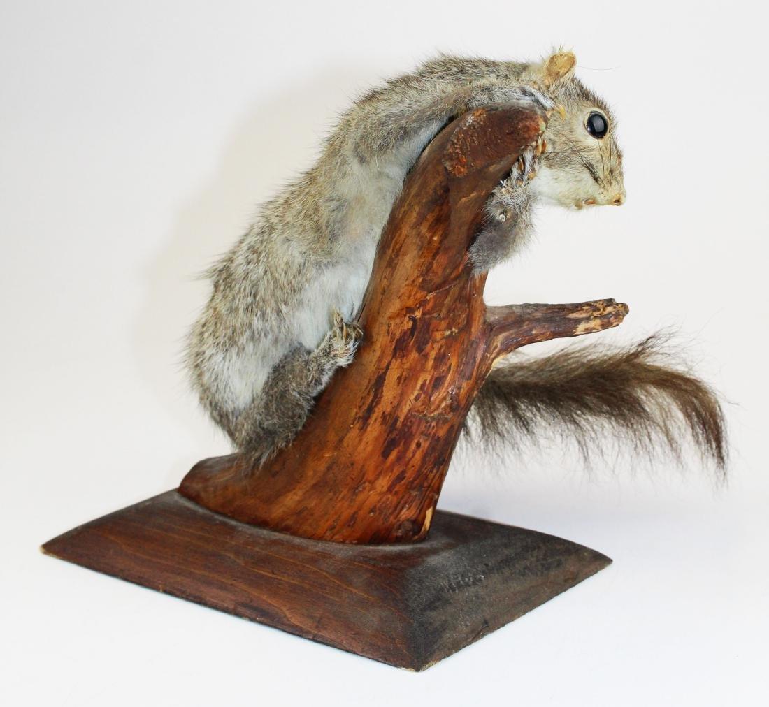 Squirrel Taxidermy mount - 4