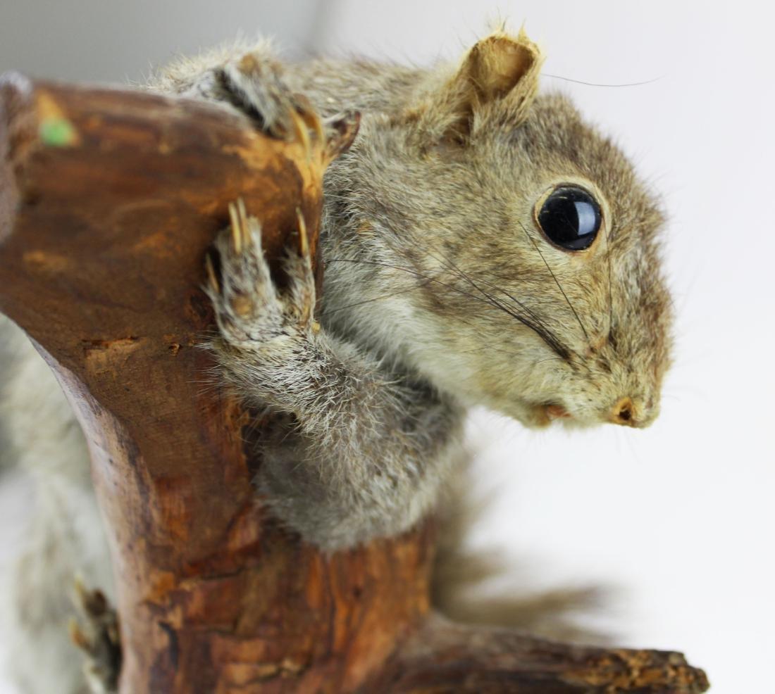 Squirrel Taxidermy mount - 5