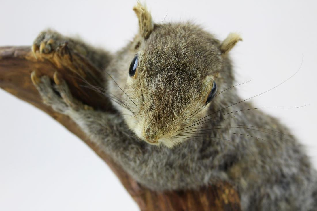 Squirrel Taxidermy mount - 7