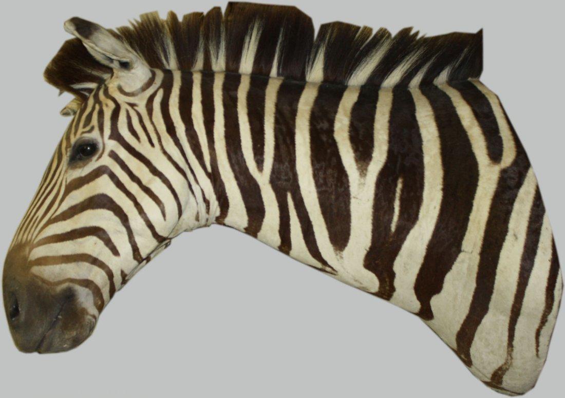 """Zebra taxidermy trophy mount 37"""" long"""