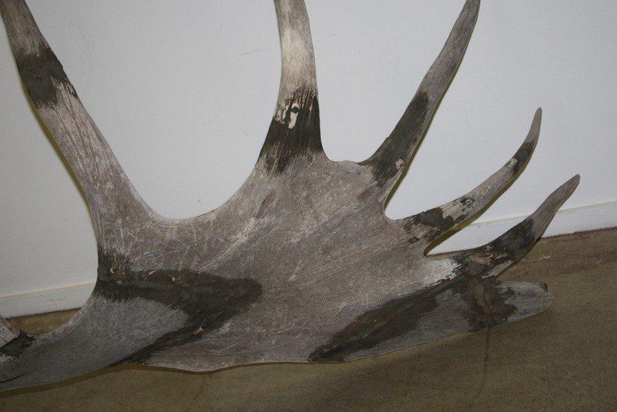Rare Prehistoric Irish Elk antlers and skull. - 3