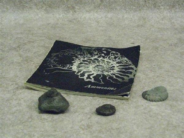 13: Ammonite Fossils, 3, One with Unusual Armature or S