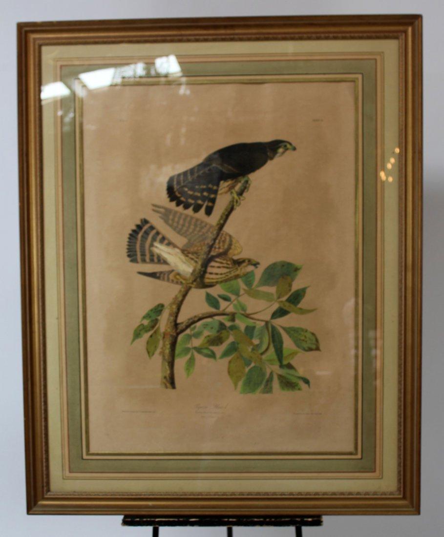 Pigeon Hawk hand colored Audubon print