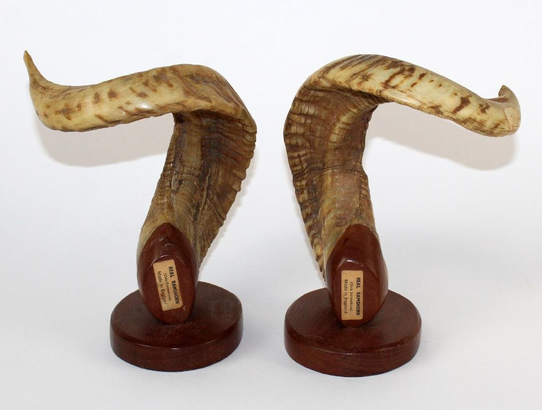 Pair of English ram horns on wooden bases