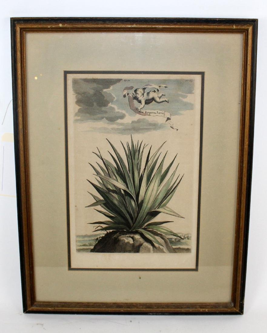 Abraham Munting Hand-Colored Botanical Print