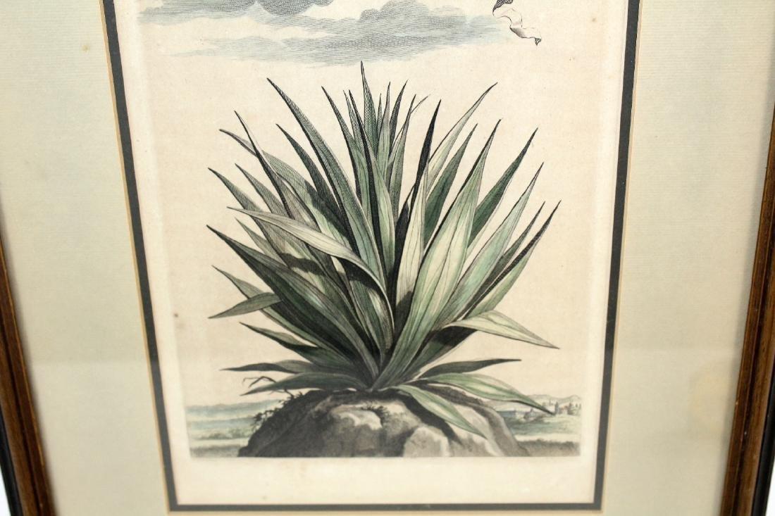 Abraham Munting Hand-Colored Botanical Print - 4