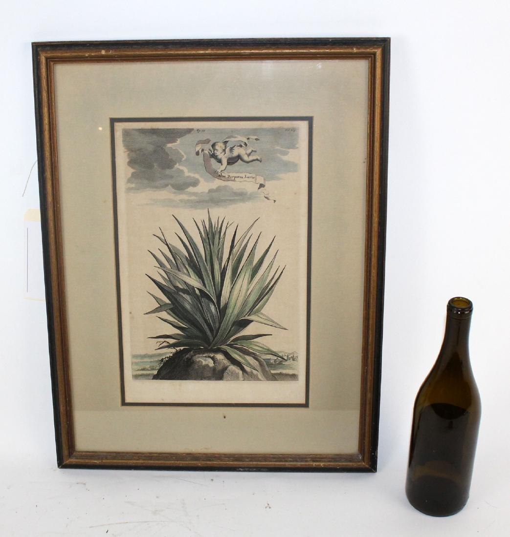 Abraham Munting Hand-Colored Botanical Print - 5