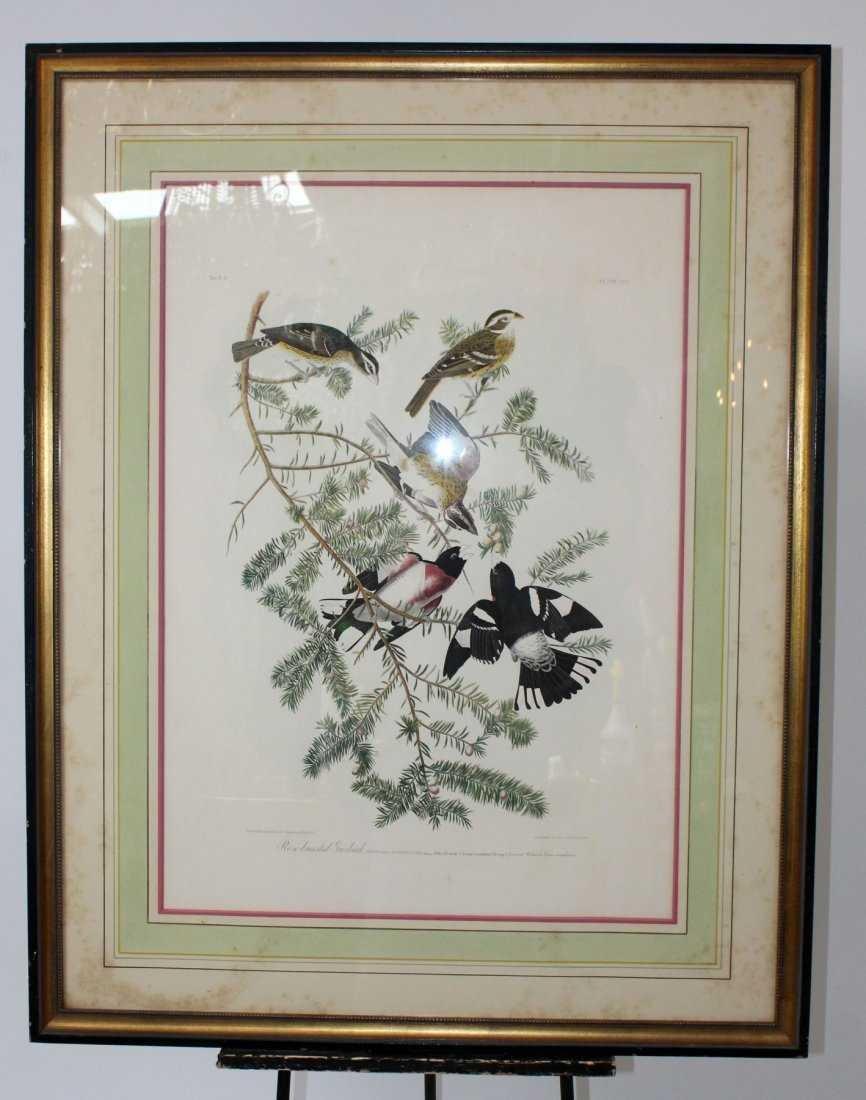 Rose breasted grosbeak Audubon print