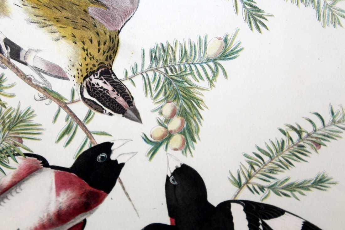 Rose breasted grosbeak Audubon print - 2