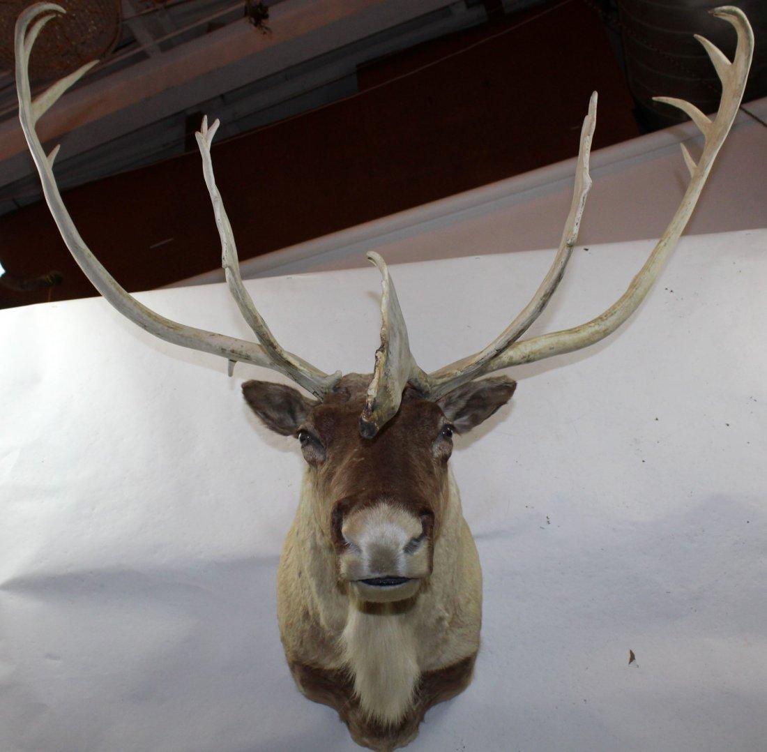 Caribou shoulder mount