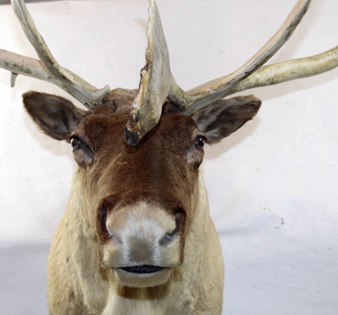 Caribou shoulder mount - 2