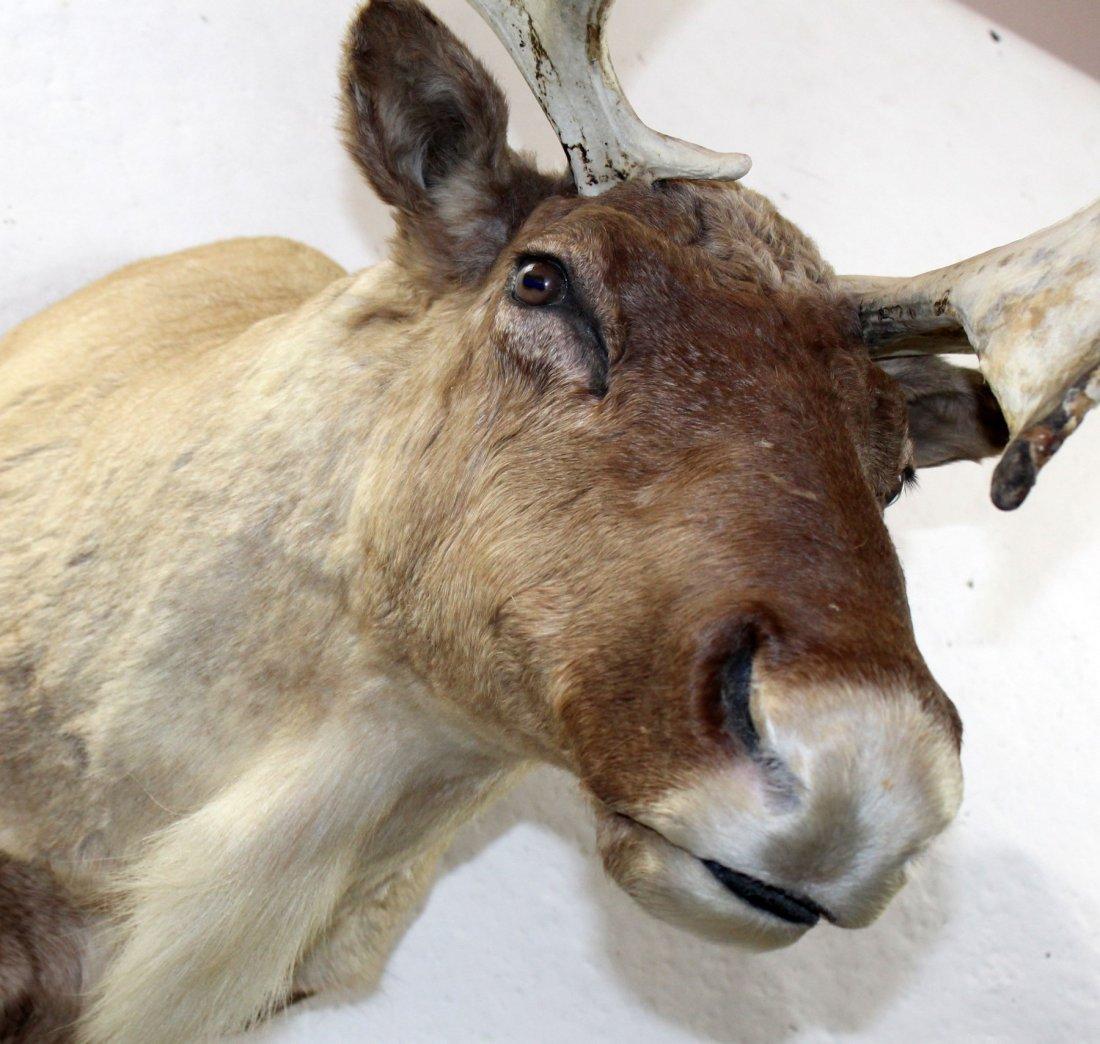 Caribou shoulder mount - 3