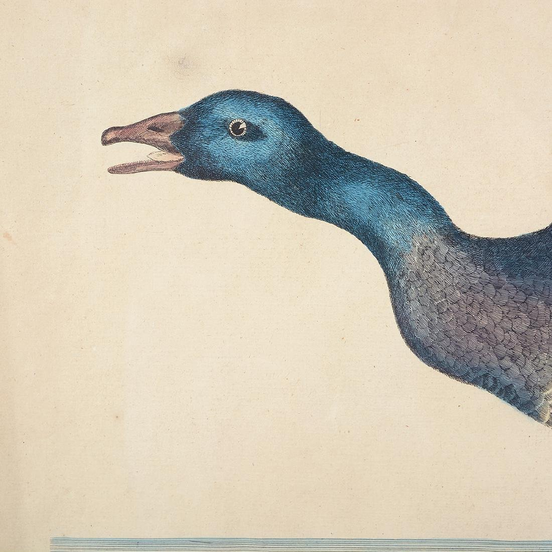 "William Hayes Three ""Duck"" hand colored etchings - 4"