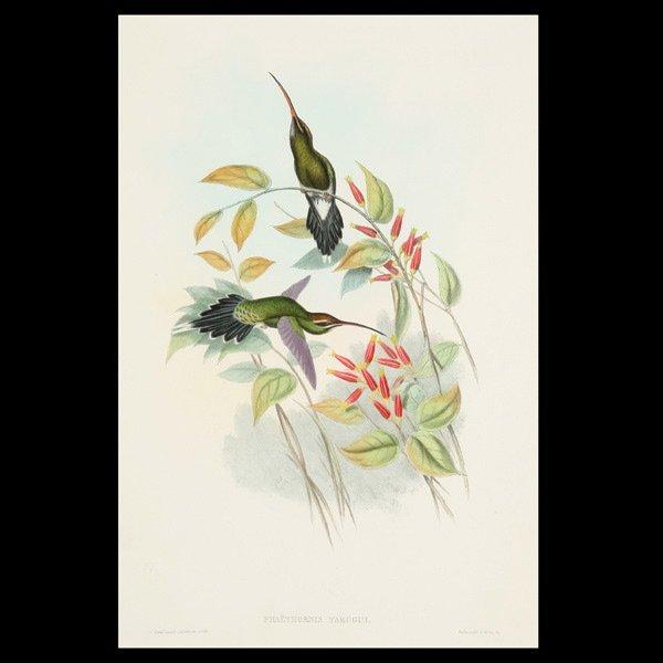 1118: Gould & Richter Hummingbird Litho