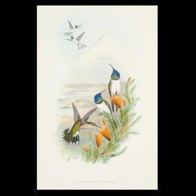 """Gould & Richter """"Hummingbird """" Litho"""