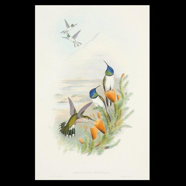 """1119: Gould & Richter """"Hummingbird """" Litho"""