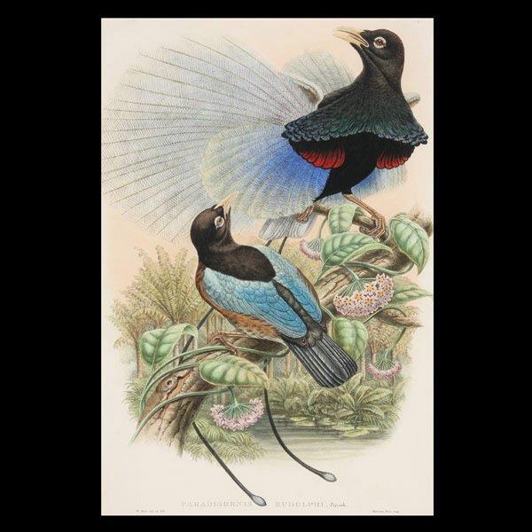 1120: Gould & Richter lithograph,  Bird of Paradise