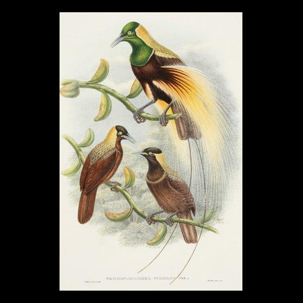 1121: William Hart Bird of Paradise  Lithograph