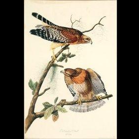 """Audubon """"Red Shouldered Hawk"""" Litho"""