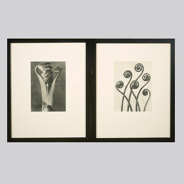 KARL BLOSSFELDT  Two Photogravures