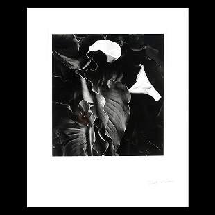 "BRETT WESTON ""Calla Lilies"" Gelatin Silver Print with"