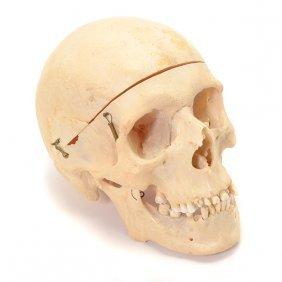 Human Skull Medical Specimen