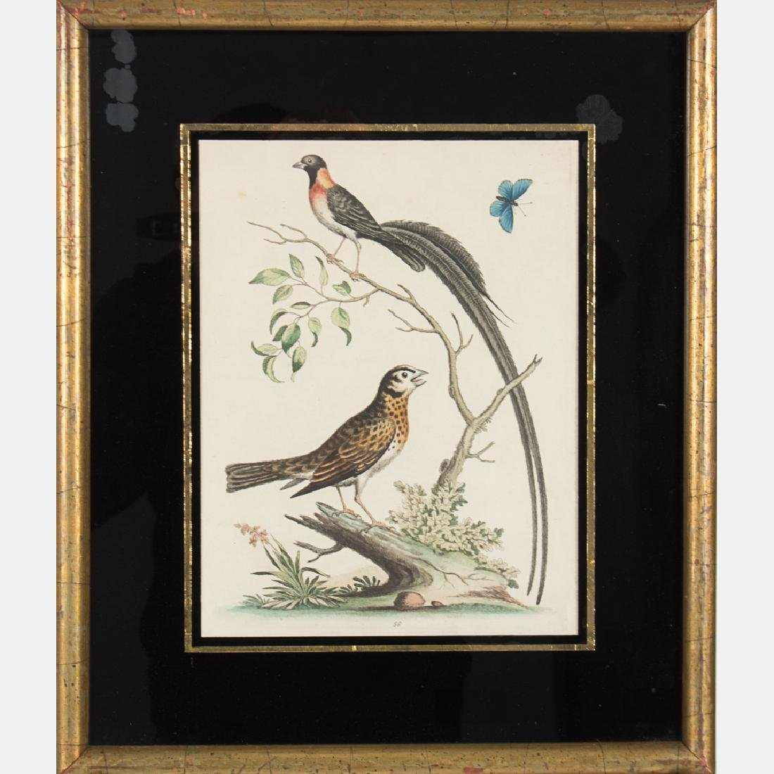 George Edwards (1694-1773) Bird Study, Colored etching - 3