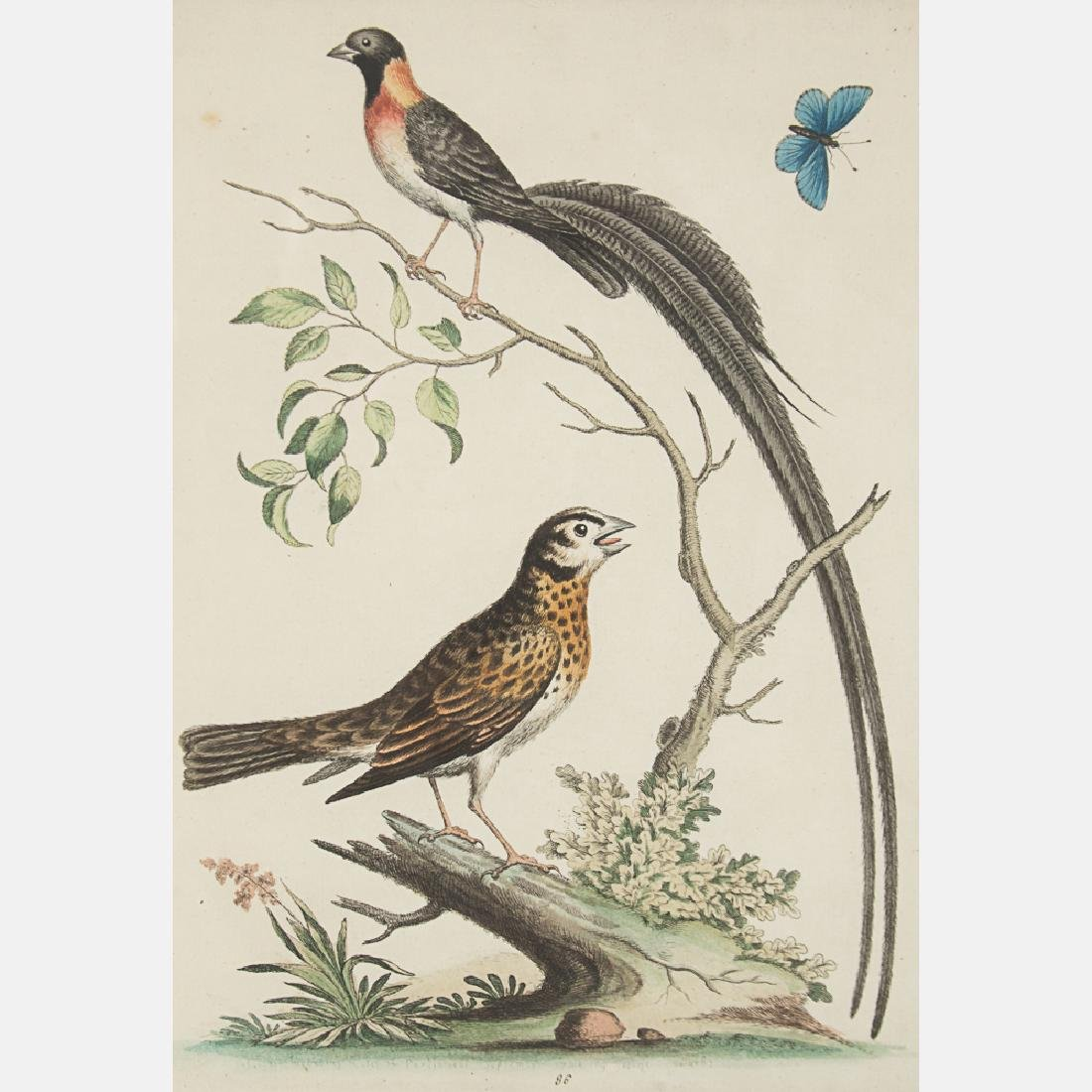George Edwards (1694-1773) Bird Study, Colored etching - 7