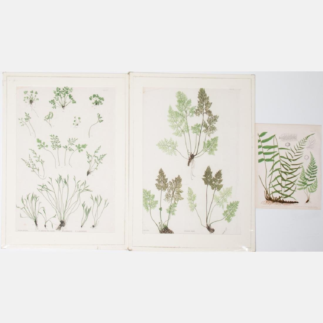 A Group of Three Colored Engravings Depicting Ferns by