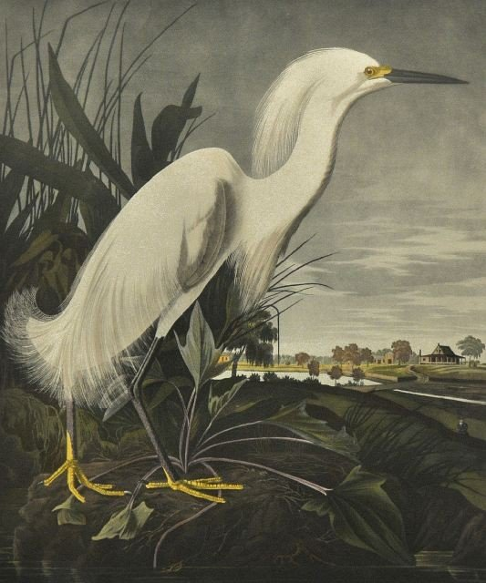 63: After John J. Audubon (1785-1851) Snowy Heron or Wh