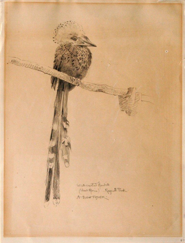84: Alfred Hugh Fisher (1867-1945) White Chested Hornbi