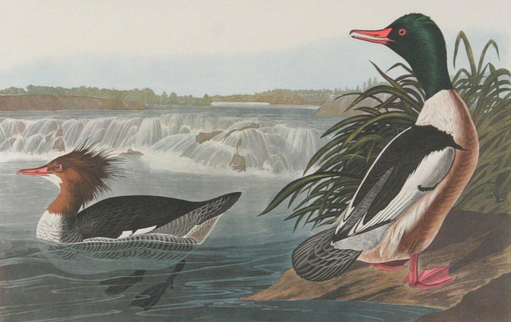 109: After John James Audubon (1785-1851) Goosander, 19