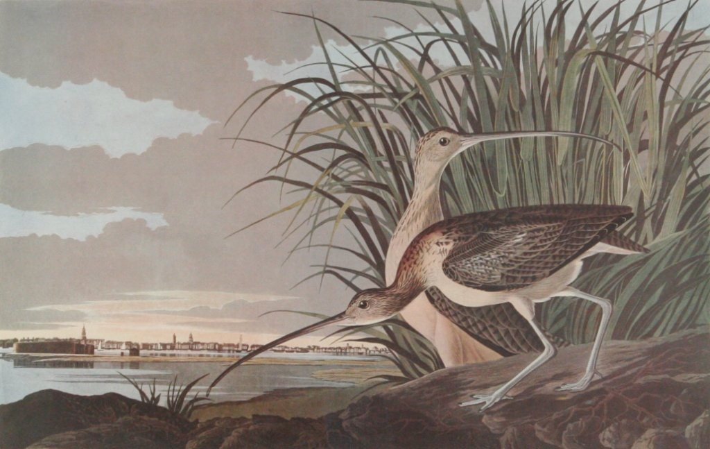 110: After John James Audubon (1785-1851) Long-Billed C