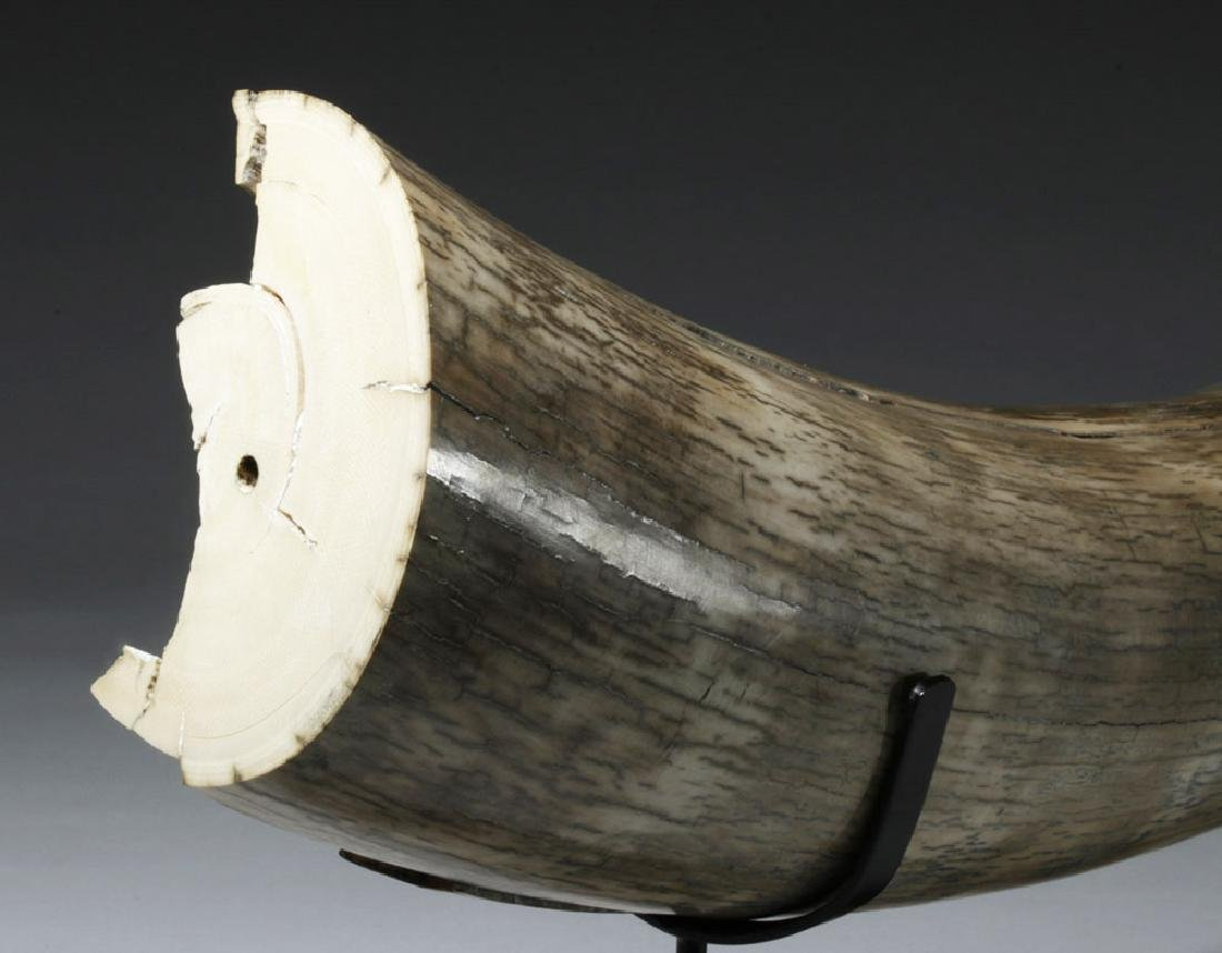 Massive Male Mammoth Tusk From Alaska - 20 Pounds! - 5
